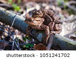 the pairing of common toads ... | Shutterstock . vector #1051241702