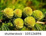 Ovulate Cones Of Larch Tree