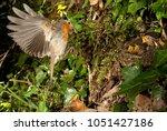 robin  flying chickens fattened ... | Shutterstock . vector #1051427186