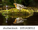 robin  in flight with...   Shutterstock . vector #1051428512