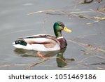 male mallard  anas... | Shutterstock . vector #1051469186