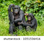 Small photo of Female bonobo with a baby is sitting on the grass. Democratic Republic of the Congo. Africa.