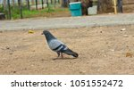pigeon in the park background ...   Shutterstock . vector #1051552472