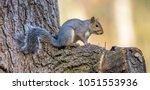 gray squirrel in an oak tree. | Shutterstock . vector #1051553936