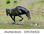 Stock photo black stallion running after jack russel terrier 105156422