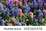purple and pink hyacinth in...   Shutterstock . vector #1051631576