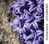 purple and white hyacinth   Shutterstock . vector #1051684385