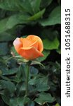 Stock photo orange roses in the garden 1051688315