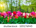 Colorful Tulip Flowers In A...