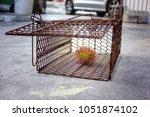 Rat Trap Cage  With Fruit Inside