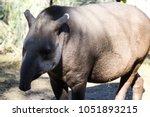 brazilian south american tapir  ... | Shutterstock . vector #1051893215