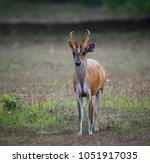 red muntjac  muntiacus muntjak  ... | Shutterstock . vector #1051917035