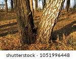 pine and birch grow from one... | Shutterstock . vector #1051996448