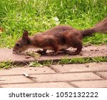 little red squirrel in the city ... | Shutterstock . vector #1052132222