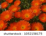 Orange Ice Plant Flowers  Pig...