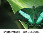 emerald swallow tail butterfly  ... | Shutterstock . vector #1052167088