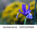 "iris .  park ""flora""  cologne . ... | Shutterstock . vector #1052169686"