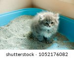 Stock photo natural lighting and shadow of blur grey persian maine coon kitten is using toilet newborn 1052176082