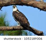 osprey at okaloachoochee state... | Shutterstock . vector #1052189306