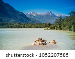 flock of cows crossing the... | Shutterstock . vector #1052207585