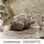 Common Gundi  Ctenodactylus...