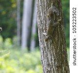 An American Grey Squirrel ...