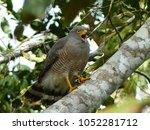 Small photo of Roadside Hawk (Rupornis magnirostris) Accipitridae family. Amazon rainforest, Brazil