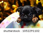 Stock photo griffon baby dog gift box 1052291102