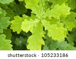 Branches Of A Young Oak. Natur...