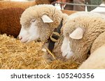Best Swiss Cows Presented On A...