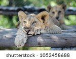 Stock photo sleepy cute lion cub lying down on tree with other lion cubs wildlife of africa baby animals 1052458688