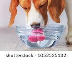 beagle dog drinking from... | Shutterstock . vector #1052525132