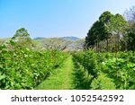 beautiful green view of vinery... | Shutterstock . vector #1052542592