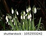 Small photo of Snowdrops. (Galanthus naivalia)