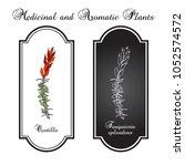 ocotillo  fouquieria splendens  ...   Shutterstock .eps vector #1052574572