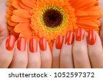 red nails and orange gerbera in ... | Shutterstock . vector #1052597372