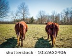 Two Bulls Standing In A...