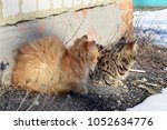 two cats   fluffy orange and... | Shutterstock . vector #1052634776