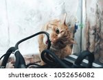 ginger cat tries to bite the... | Shutterstock . vector #1052656082