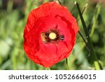 Small photo of honey bee or worker apis mellifera pollinating a poppy flower papaver rhoeas remembering 1918, John McCrae's Flanders Fields poem and Feliks Konarski's 1944 song, The Red Poppies on Monte Cassino