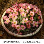 Small photo of Saxifraga Auguste Renoir in flower