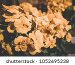yellow primulas blum old filter | Shutterstock . vector #1052695238