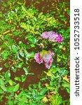 tea rose bush at inner yard in... | Shutterstock . vector #1052733518
