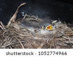 nestlings of the nightingale... | Shutterstock . vector #1052774966