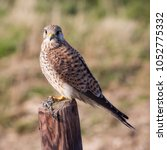 common kestrel  falco...   Shutterstock . vector #1052775332