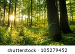 Summer Dawn In Old Beech Forest