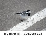 A Small Wagtail Crosses The...