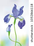 blue iris flower with bud on... | Shutterstock .eps vector #1052866118