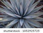 agave plant desert flora... | Shutterstock . vector #1052925725