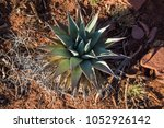 agave plant desert flora... | Shutterstock . vector #1052926142